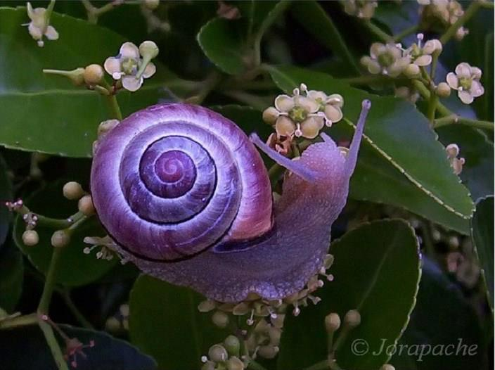 snails with a partially purple shell.jpg