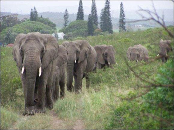 31 éléphants....jpg