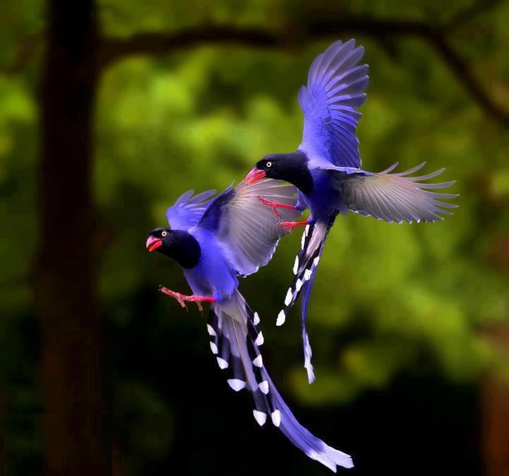 ♥ Taiwan Blue Magpie (Urocissa caerulea).jpg